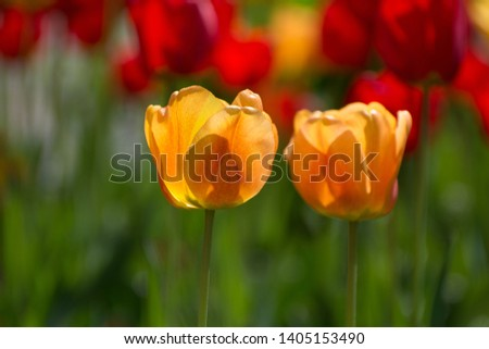 Yellow tulips on a blurred background. Yellow tulips on a sunny day closeup closeup.