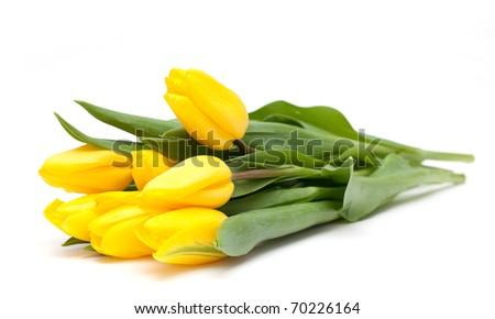 yellow tulips on white #70226164