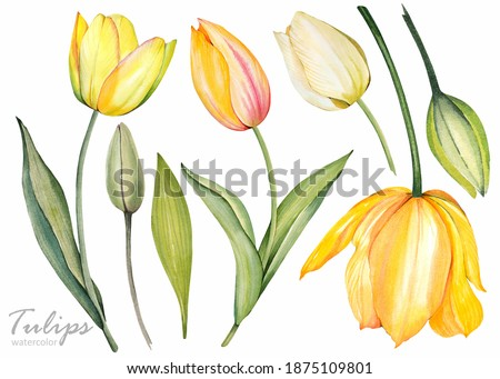 Yellow tulips on white background. Spring floral set. Watercolor botanical illustration.  Stock photo ©
