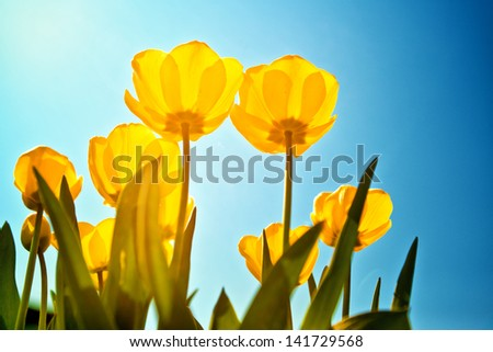 Yellow tulips over a blue sky background. Spring season background.