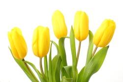 Yellow Tulips/Spring Flowers