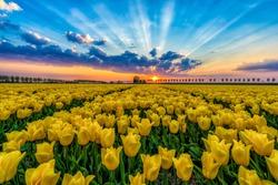 Yellow Tulips Sunset