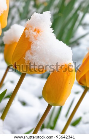 Yellow Tulips Topped with Snow
