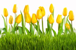 Yellow tulips with green grass isolated on white background