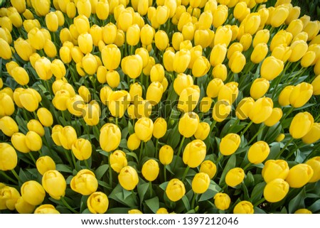 yellow tulips. yellow tulips in grove. yellow tulips in the background