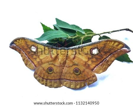 Stock Photo Yellow Tussah Moths night butterfly