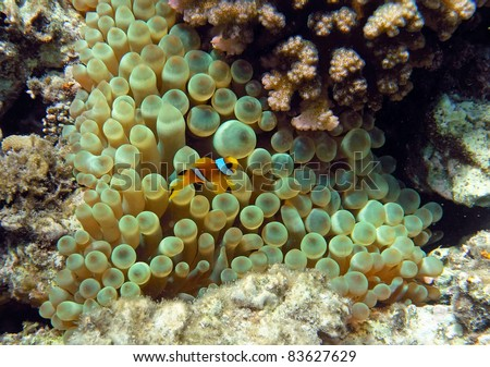 Yellow two-stripes anemon? (clown fish) of the Red Sea coral reef