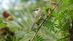 Yellow- vented bulbul, a 20cm medium- sized bulbul with a black eye mask on a white head. It is distinguished by typical yellow vents, thus its name. It is one of the commonest birds in Southeast Asia