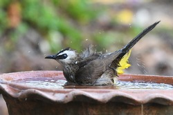 Yellow-vented Bulbul, a song bird, bathing in small water bowl nearby my house on hot day, Thailand. Lovely wild animal in natural habitat look happy, healthy, free and independent. Freedom concept.