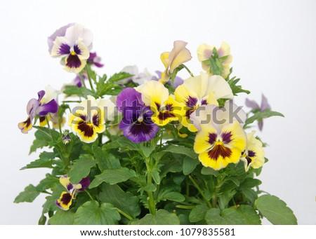 Yellow - violet viola, Common Violet, Viola tricolor