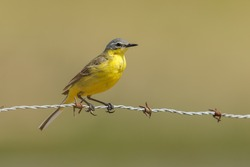 Yellow wagtail on barbed wire
