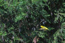 Yellow Warbler flying in a Juniper tree
