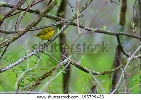 Yellow Warbler Picture of a Yellow Warbler sitting on a branch amongst trees in the woods.