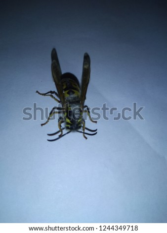 yellow wasp eaten alive #1244349718
