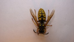 Yellow wasp on a white background. yellow hornet a white background. Closeup European wasp or German wasp. isolated Yellowjacket or yellow jacket  Close up of German yellowjacket wasps, insect, insect