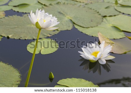 Yellow water lilly in the pool