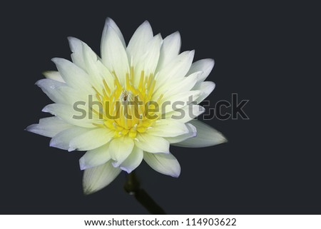 Yellow water lilly on blue-green background
