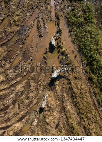 Yellow water paddy fields and grazing buffaloes. Egrets are sitting on buffaloes. Langkawi, Malaysia. Photo from drone. Aerial view.