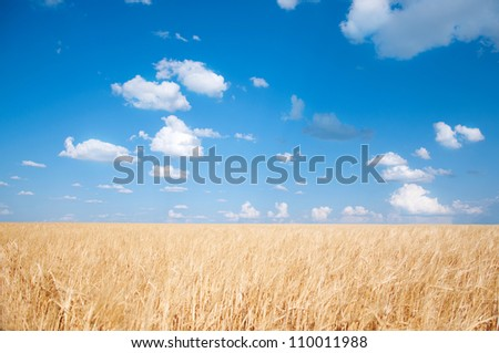 Yellow wheat field against bright blue sky with white clouds