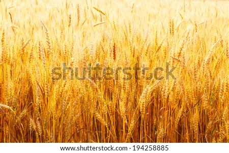 yellow wheat field close up in Russia in the summer on a sunny day