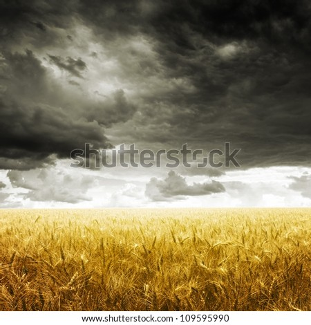 Yellow wheat field under dark storm cloud sky