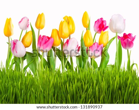 Yellow white and pink tulips with green grass isolated on white background