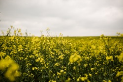 Yellow Wild Flower Field on Cloudy Day in France