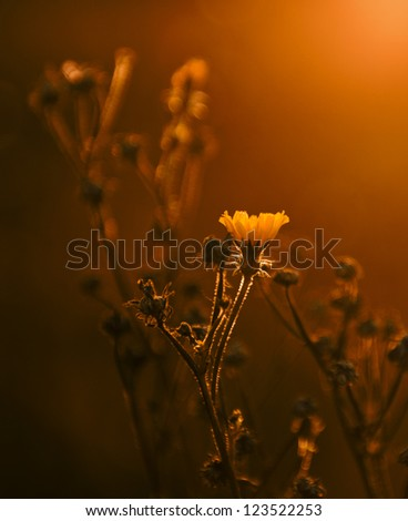 Yellow wild flower in sunset