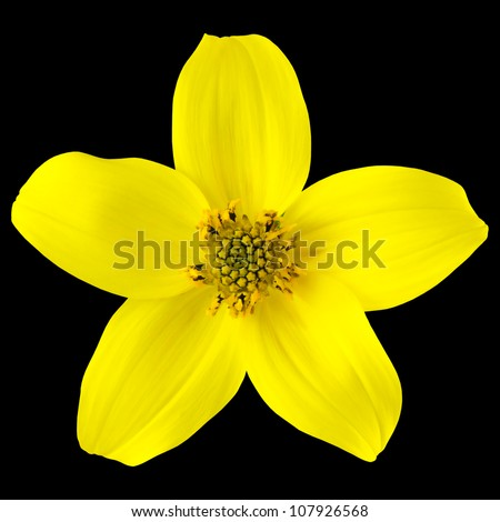 Yellow Wild Flower with Five Petals Isolated on Black Background