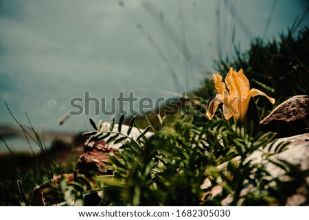 Yellow wild iris in the setting sun. They grow in the southern regions of Russia. Photographed in the village of Sukko, Krasnodar Territory Stock fotó ©