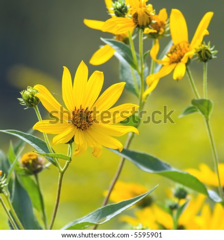 Yellow wildflower (helianthus) blooming in late summer