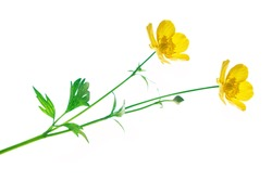 Yellow wildflowers buttercup isolated on white background.