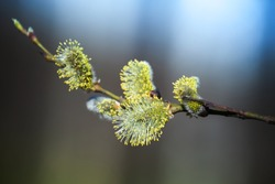 Yellow willow flowers on the branch in spring forest. Macro photo