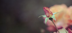Yellow with red rose bud. Blurred dark background with yellow rose flower. Copy space. Panorama aspect ratio.