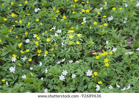 yellow wood anemone in forest meadow