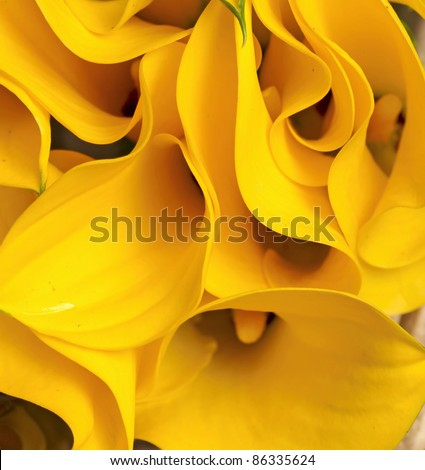 yellow Zantedeschia #86335624