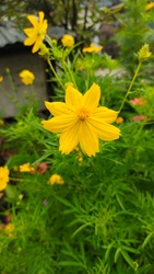 Yellow zinnia flowers with few petals are an antidote to pests of rice and corn around the rice fields
