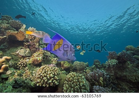 yellowbar angelfish  and ocean taken in the Red Sea.