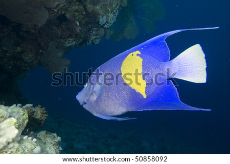 Yellowbar angelfish (Pomacanthus maculosus) and coral reef, Red Sea, Egypt. - stock photo