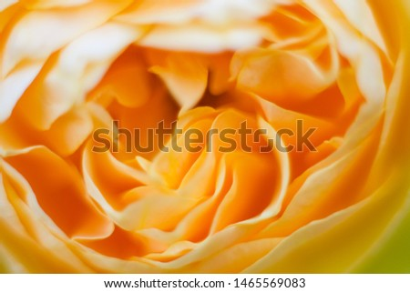 Yellowe rose petals close up macro picture. Flower background.