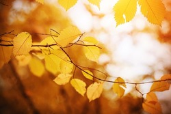 Yellowed in the autumn, the leaves of the linden on the thin branches are illuminated by bright sunlight. Warm golden autumn.