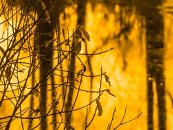 Yellowed leaves on the branches of a coastal willow wither over a frozen pond covered with thin ice in the yellow light of sunrise