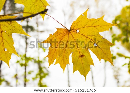 Yellowed maple leaf on a tree branch #516231766