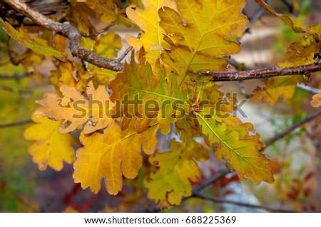 Yellowed oak leaves on a tree branch #688225369