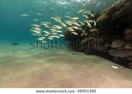 Yellowfin goatfish and coral in the Red Sea