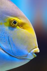 Yellowfin surgeon fish close-up ( Acanthurus xanthopterus)