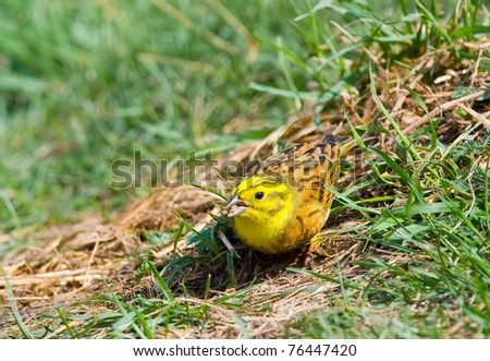 Yellowhammer (Emberiza citrinella) on a grass