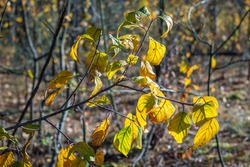 Yellowing autumn leaves on thin branches of a young tree in the forest. Autumn time, leaf fall. Selective focus