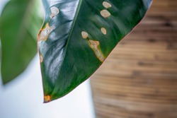 Yellowing spots on leaves on houseplant. Sick house plant. Dehydration plant by giving too little water. Brown yellow leaf tips and edges. Wilting and browning of leaves