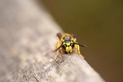 Yellowjacket Australian wasp with pointy antennas